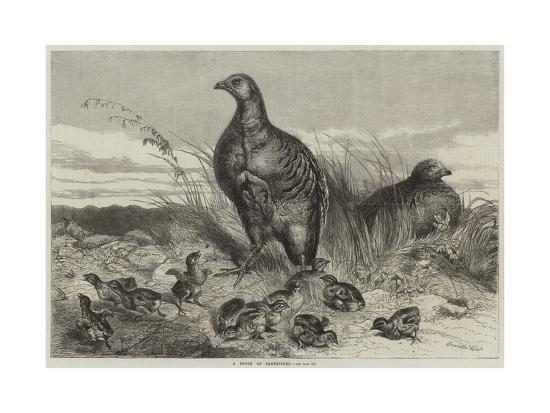 harrison-william-weir-a-brood-of-partridges