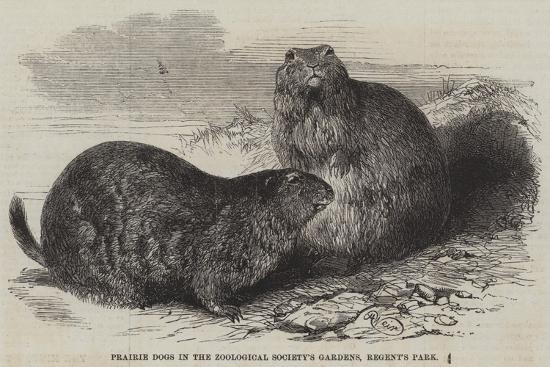 harrison-william-weir-prairie-dogs-in-the-zoological-society-s-gardens-regent-s-park