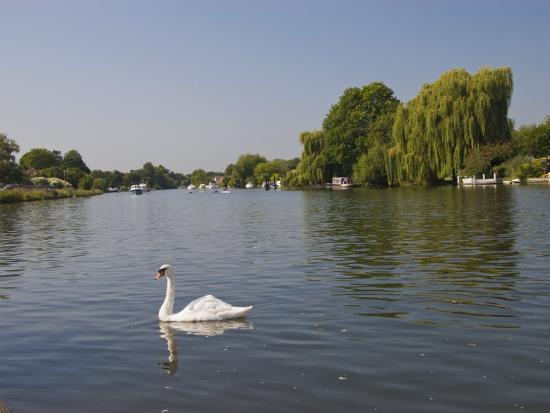 hazel-stuart-swan-on-the-river-thames-at-walton-on-thames-near-london-england-united-kingdom-europe