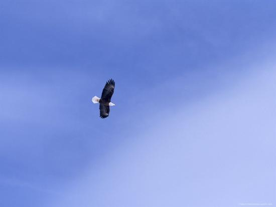 heather-perry-an-american-bald-eagle-in-flight-in-a-blue-sky