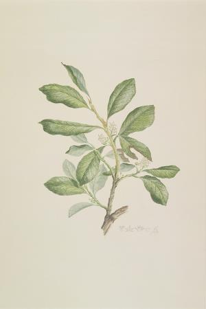 heberdenia-banamensis-plate-395-from-banks-florilegium