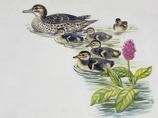 hen-and-ducklings-of-garganey-anas-querquedula-anatidae