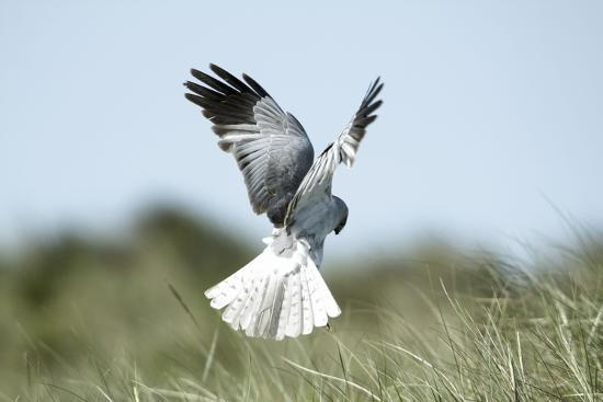 hen-harrier-male-in-flight-hunting-hovering