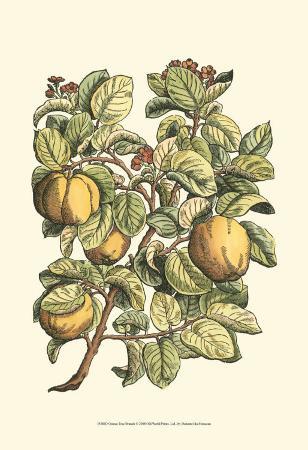 henri-du-monceau-quince-tree-branch