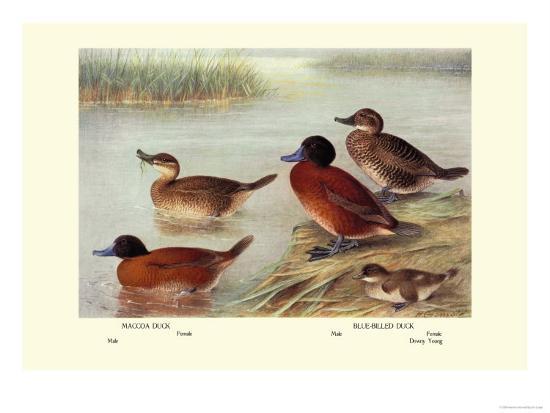 henrick-gronvold-maccoa-and-blue-billed-ducks
