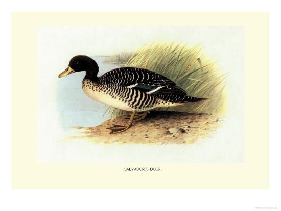 henrick-gronvold-salvadori-s-duck
