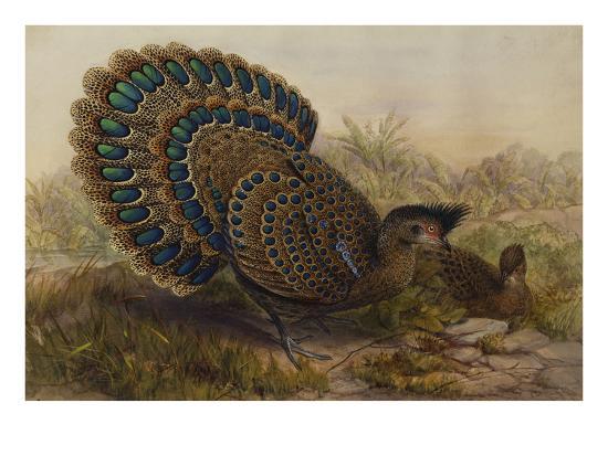 henry-constantine-richter-malayan-peacock-pheasant-polyplectron-bicalcaratum