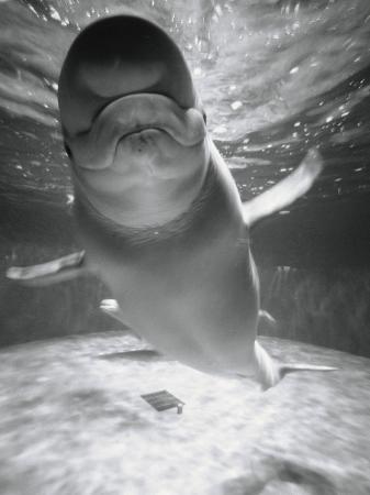 henry-horenstein-beluga-whale-swimming-in-water