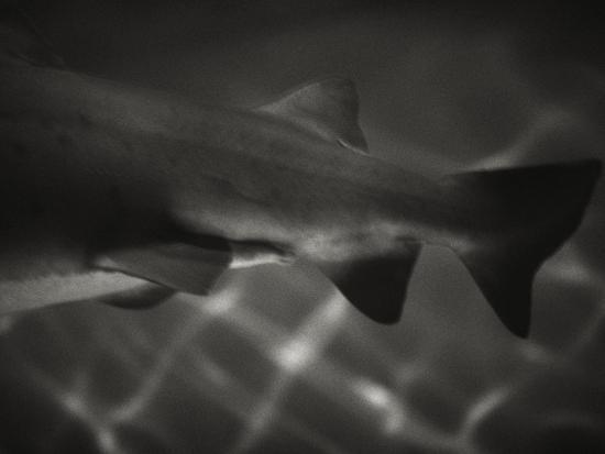 henry-horenstein-shark-dorsal-fin