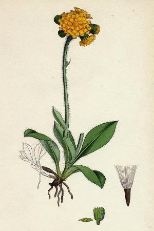 hieracium-aurantiacum-orange-hawkweed