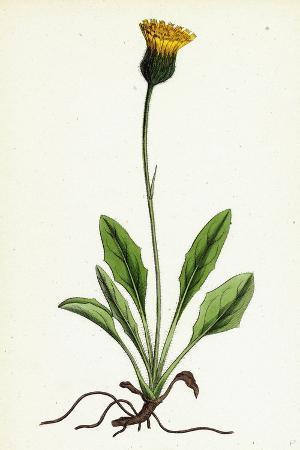hieracium-globosum-globose-headed-hawkweed