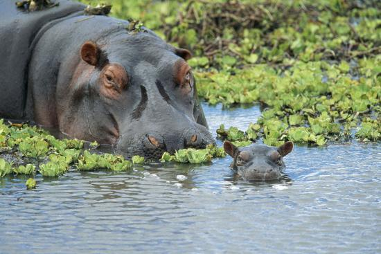 hippopotamus-adult-and-juvenile-heads-in-weeds-with-young