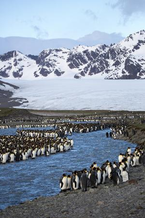 hollice-looney-antarctica-south-georgia-island-st-andrew-s-bay-king-penguins-in-mountain-landscape