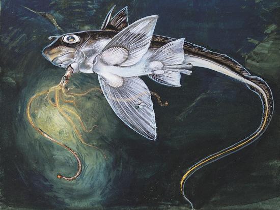 holocephali-swimming-underwater-chimaera-monstrosa