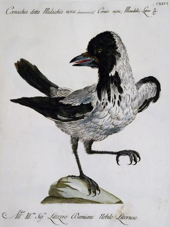 hooded-crow-corvus-cornix-cornix-coloured-is-from-history-of-birds-1767-table-655
