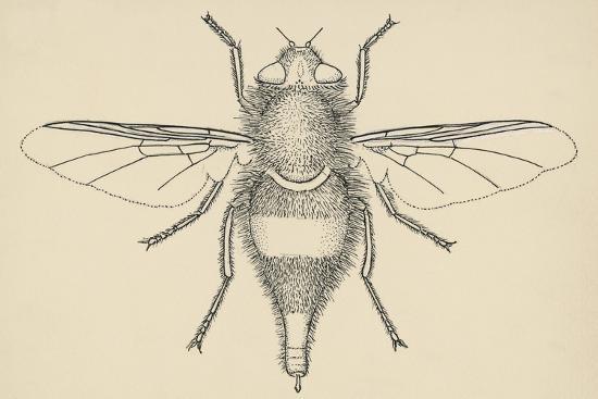 horse-bot-fly-gasterophilus-nasalis-diptera-drawing