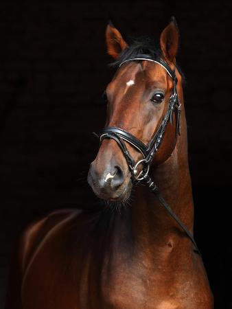 horsemen-beautiful-bay-horse-standing-in-the-stable-door