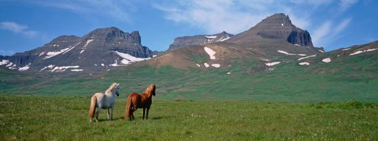 horses-standing-and-grazing-in-a-meadow-borgarfjordur-iceland