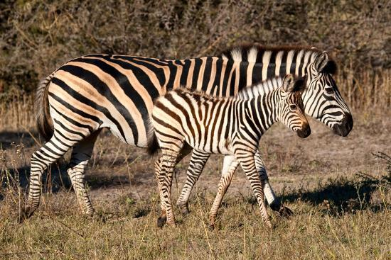 howard-ruby-burchell-s-zebra