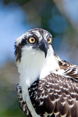 howard-ruby-osprey-yucatan-mexico-ii