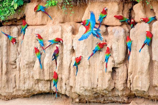 howard-ruby-red-and-green-macaws-at-clay-lick