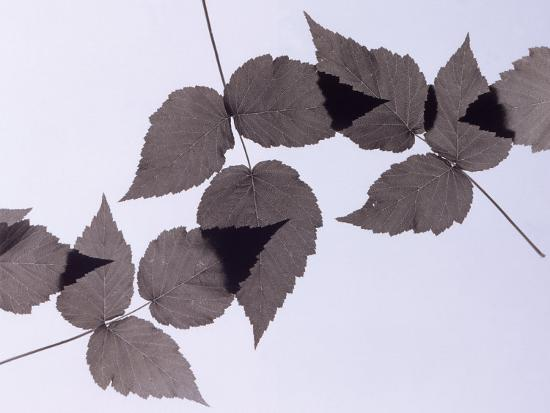 howard-sokol-backlit-leaves