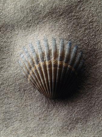 howard-sokol-scallop-shell-in-sand