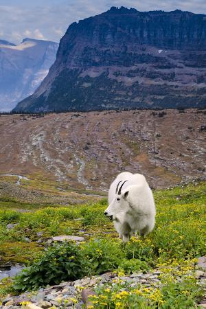 howie-garber-mountain-goat-feeding-glacier-np-unesco-near-kalispell-montana