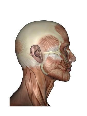 human-anatomy-of-male-facial-muscles-profile-view