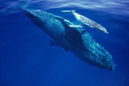 humpback-whale-female-and-her-week-old-calf-tonga
