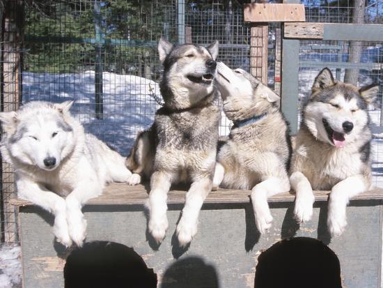 husky-dogs-in-kennel