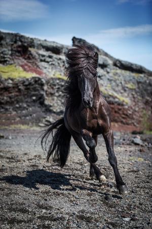 icelandic-black-stallion-iceland