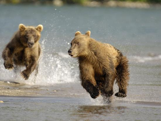 igor-shpilenok-brown-bears-chasing-each-other-beside-water-kronotsky-nature-reserve-kamchatka-far-east-russia