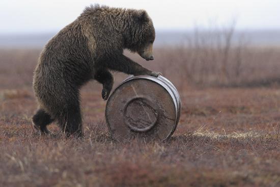 igor-shpilenok-young-female-kamchatka-brown-bear-ursus-arctos-beringianus-playing-with-oil-drum