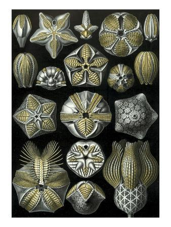 illustration-of-blastoidea-by-ernst-haeckel