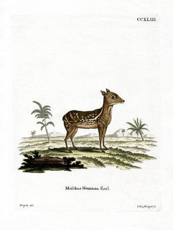 indian-spotted-chevrotain