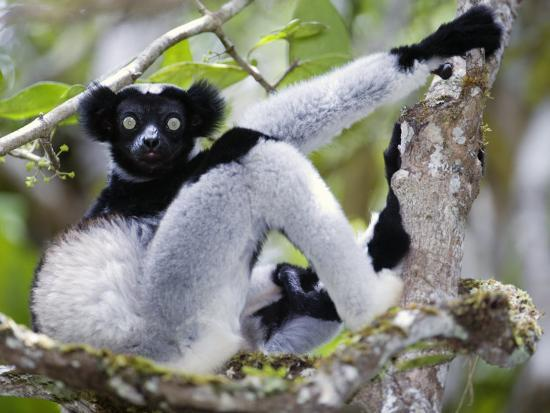 indri-lemur-sitting-on-a-tree-andasibe-mantadia-national-park-madagascar