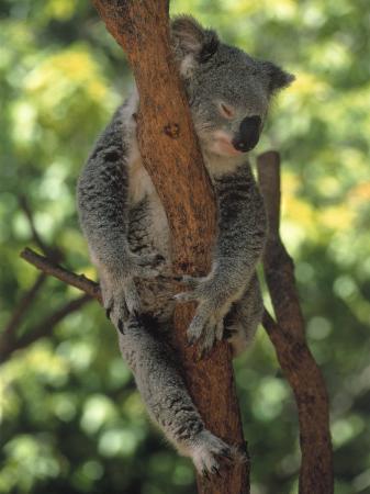 inga-spence-koala-sleeping-in-a-tree-australia