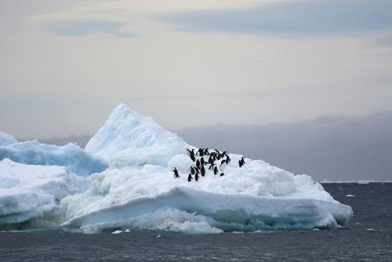 inger-hogstrom-antarctica-brown-bluff-adelie-penguins-on-an-iceberg