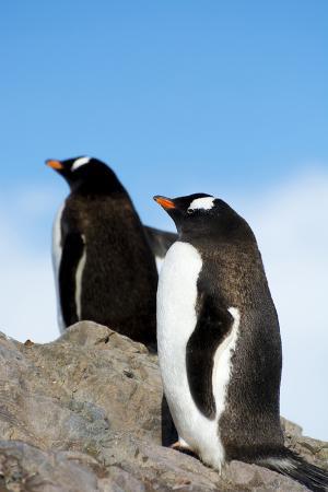 inger-hogstrom-antarctica-neko-harbor-gentoo-penguin-pygoscelis-papua-colony