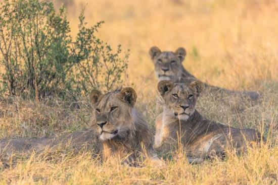 inger-hogstrom-botswana-chobe-national-park-savuti-pride-of-lions-resting-in-the-shade