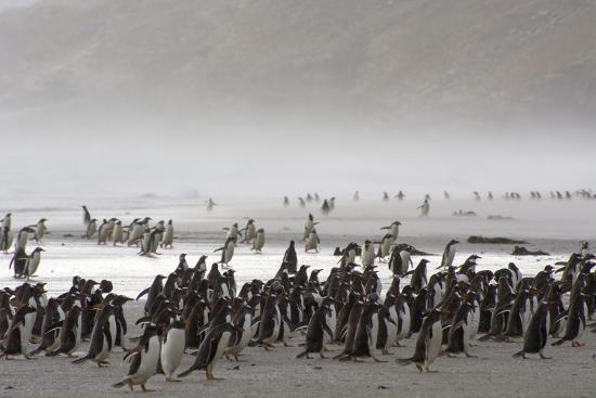 inger-hogstrom-falkland-islands-saunders-island-gentoo-penguins-fight-the-wind
