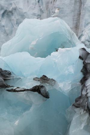 inger-hogstrom-norway-svalbard-brepollen-black-legged-kittiwake-on-an-iceberg