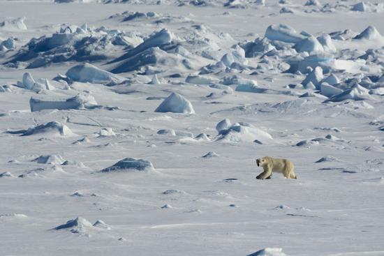 inger-hogstrom-norway-svalbard-hinlopen-strait-polar-bear-walking-on-the-drift-ice