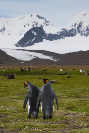inger-hogstrom-south-georgia-salisbury-plain-king-penguins-aptenodytes-patagonicus