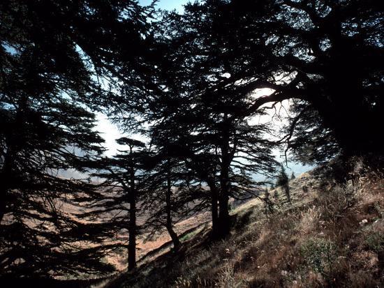 ira-block-view-through-the-branches-of-lebanon-s-famous-cedar-trees
