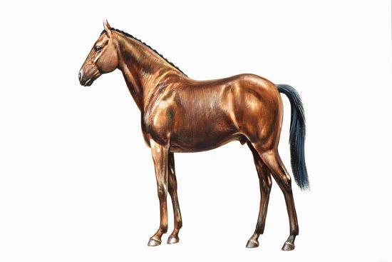 irish-sport-hunter-or-irish-hunter-equus-caballus-equidae