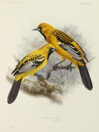 j-g-keulemans-hand-coloured-lithograph-from-fauna-flora-and-archaeology-of-central-america