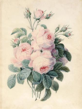 j-herzog-spray-of-centifolia-roses
