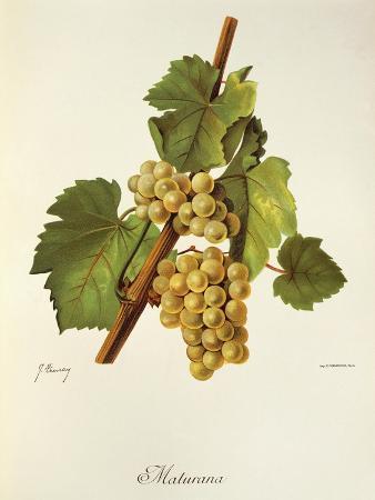 j-troncy-maturana-grape